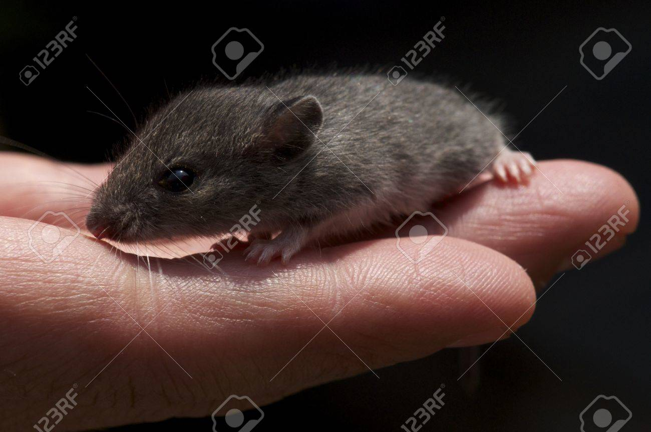 A closeup of a small mouse sitting in a persons hand Stock Photo - 11142936