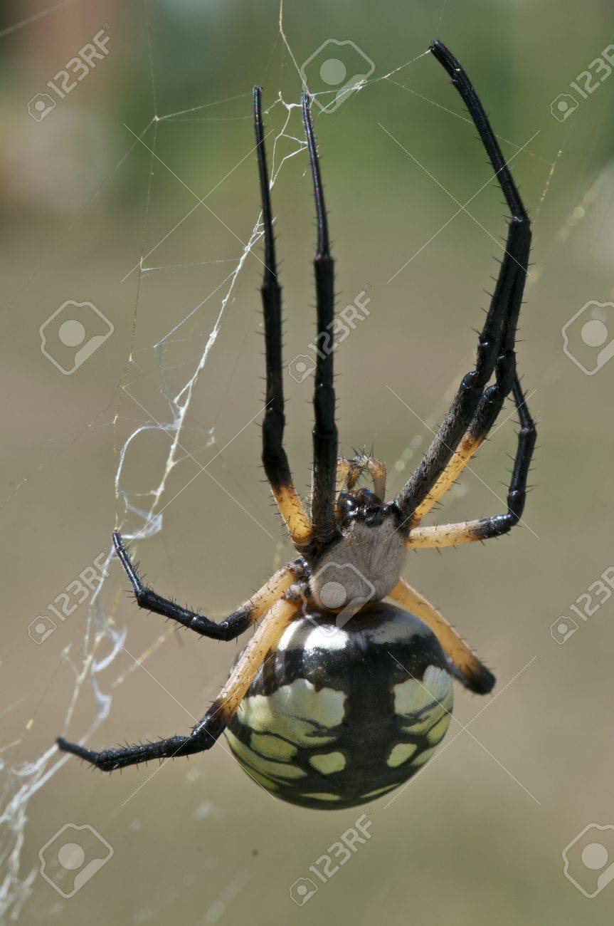 A Black and Yellow Garden Spider on it Stock Photo - 11143531
