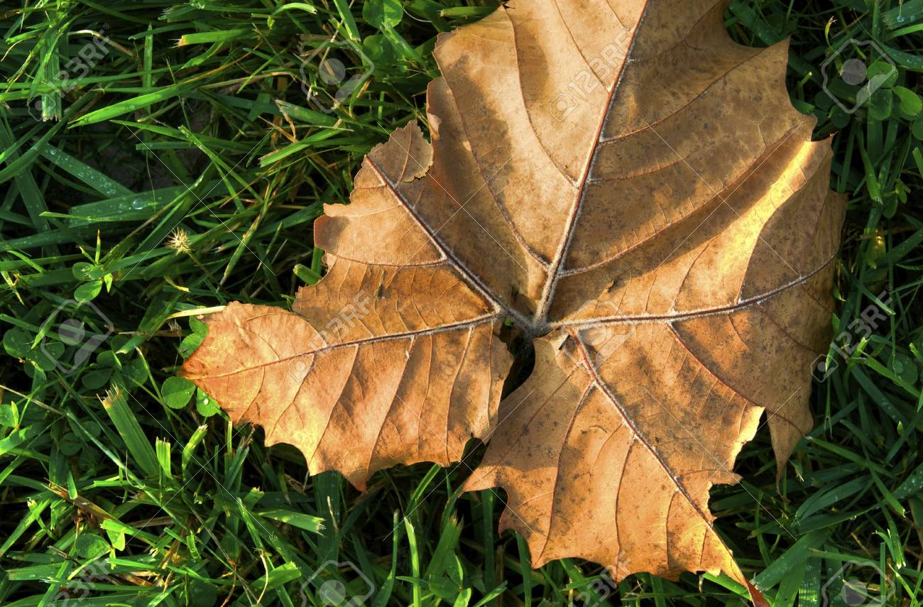A dry leaf laying in the grass during autumn Stock Photo - 11143016
