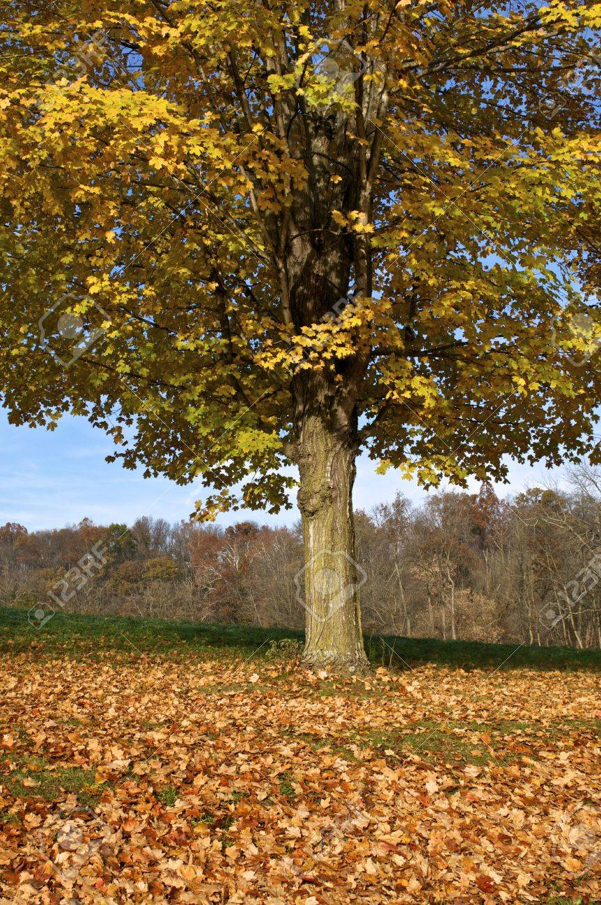 A deciduous tree in autumn Stock Photo - 11143023
