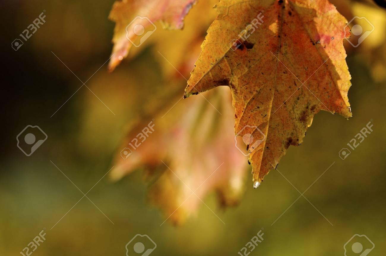 Orange and Yellow Leaf in Autumn Stock Photo - 11143029