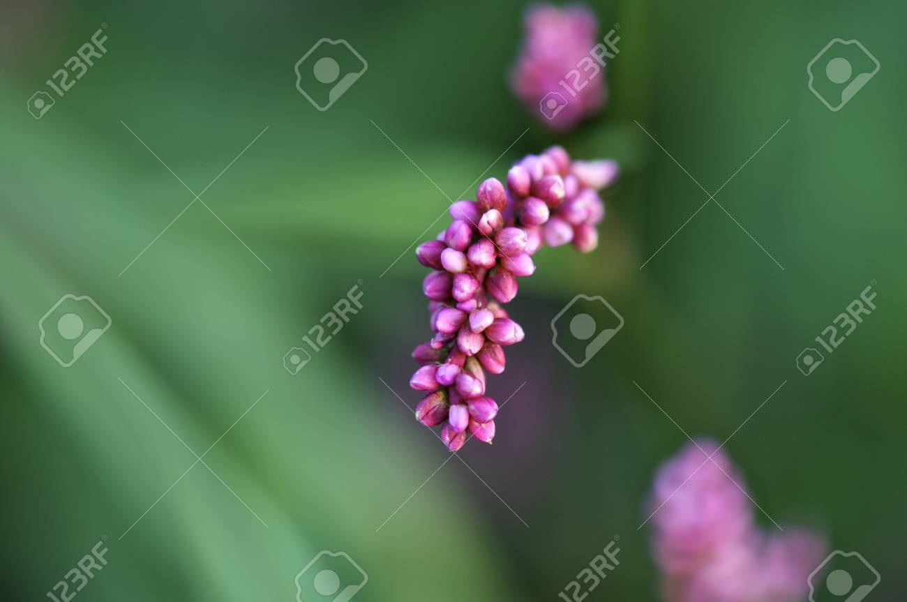 Pink flower blossoms with a green background - Selective Focus Stock Photo - 11143027