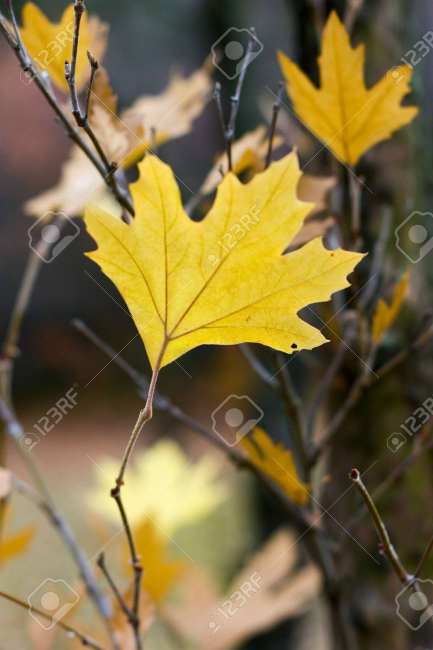 single yellow maple tree leaf on a branch Stock Photo - 5735446