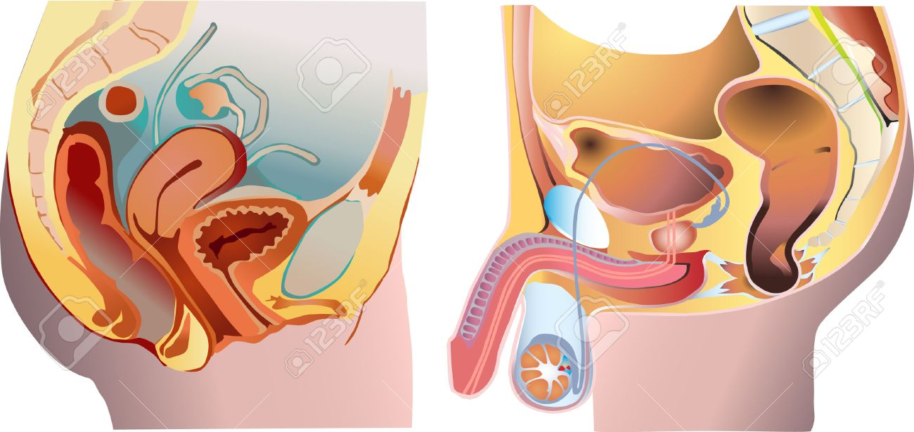 Male and female reproduction system Stock Vector - 4523035