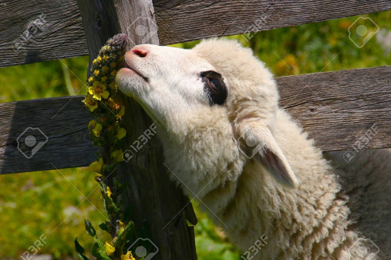 Lamb eating a flower on a sunny meadow Stock Photo - 11793385