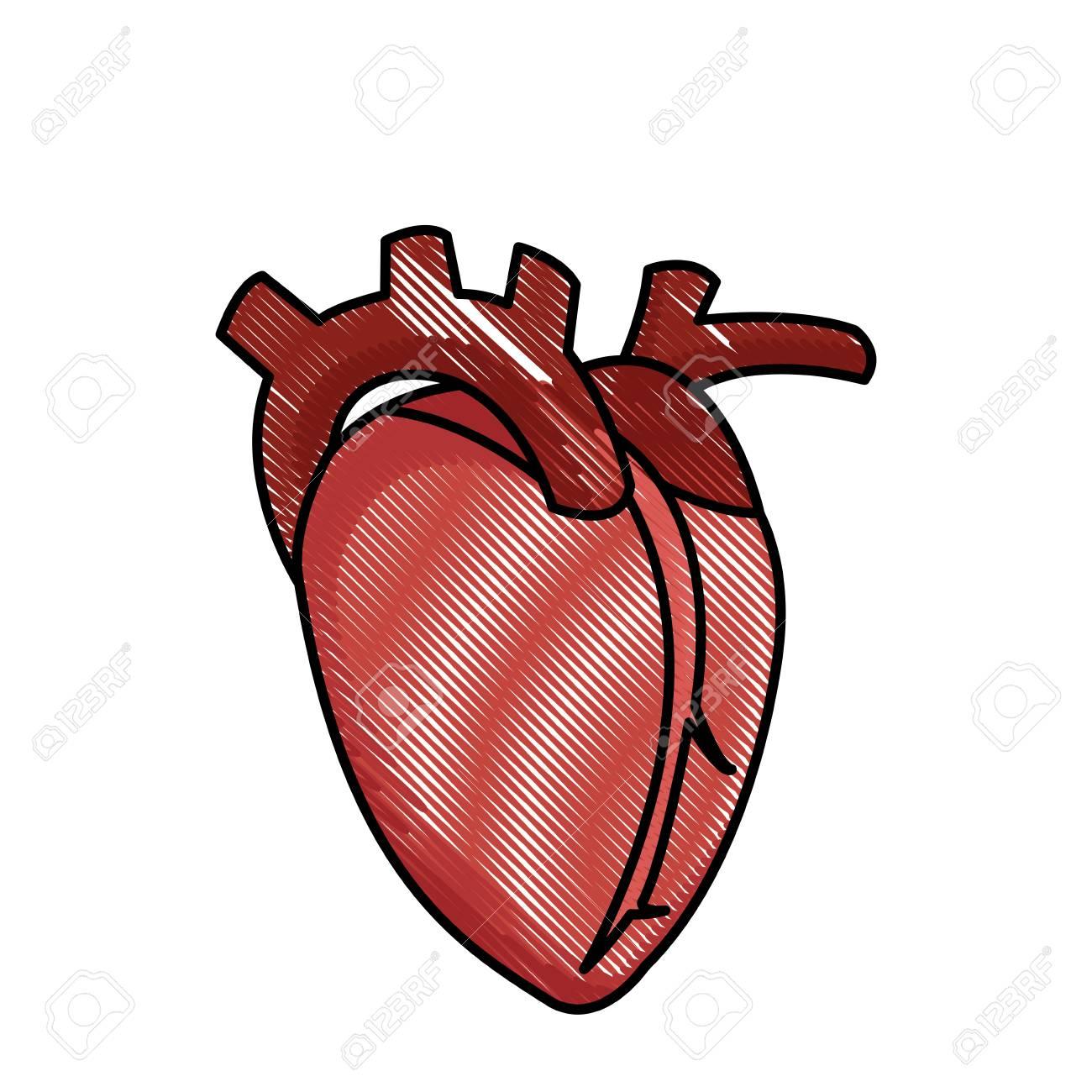 Ilustración De Vector Saludable De Corazón Humano Dibujo Corazón