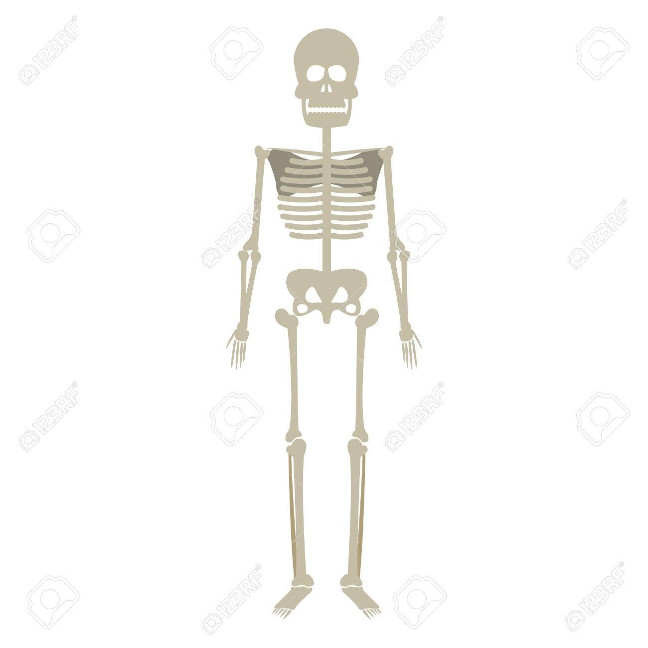 Esqueleto Humano Anatomía Cráneo Hueso Médico Ilustración Vectorial ...