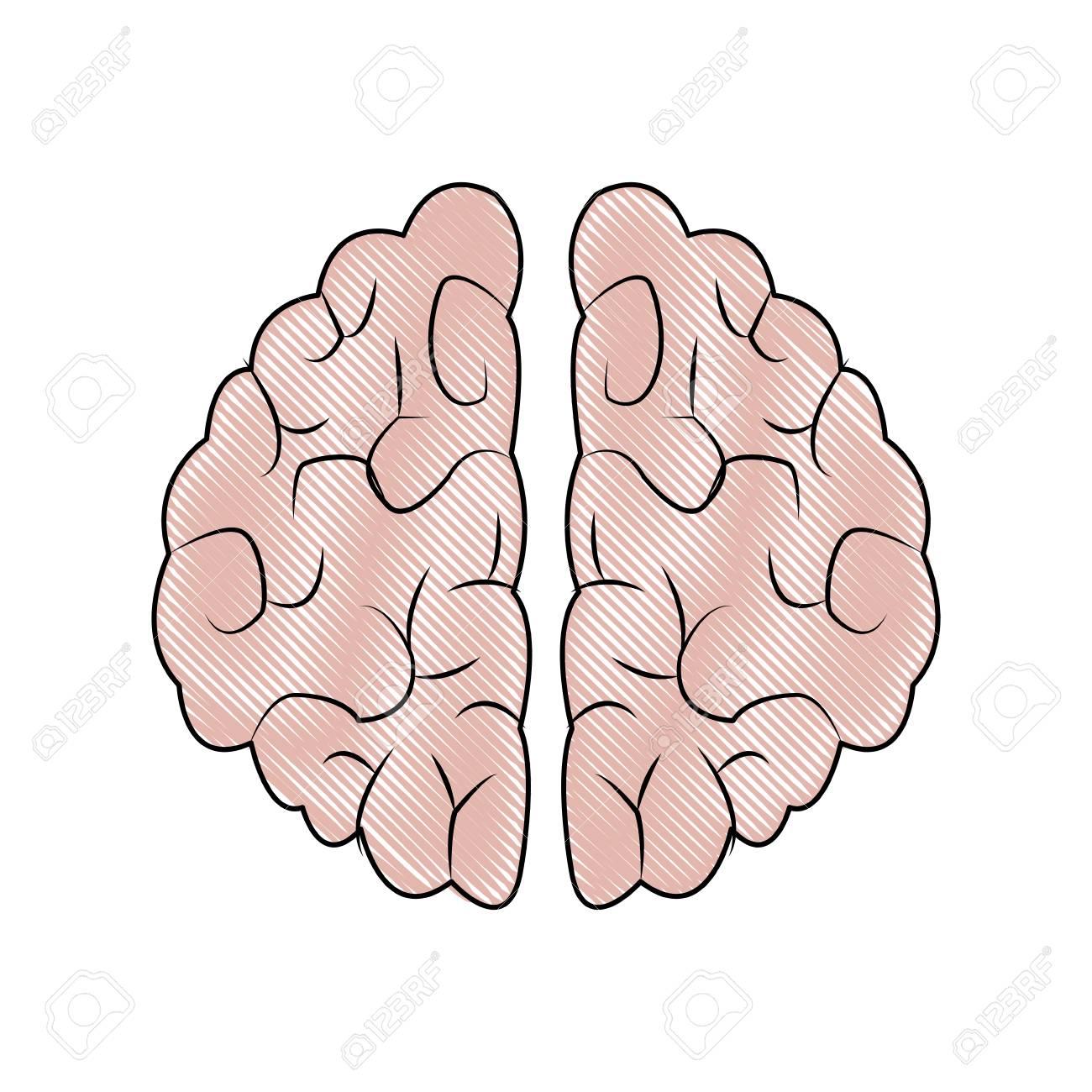 Human Brain Organ Health Memory Anatomy Vector Illustration Royalty