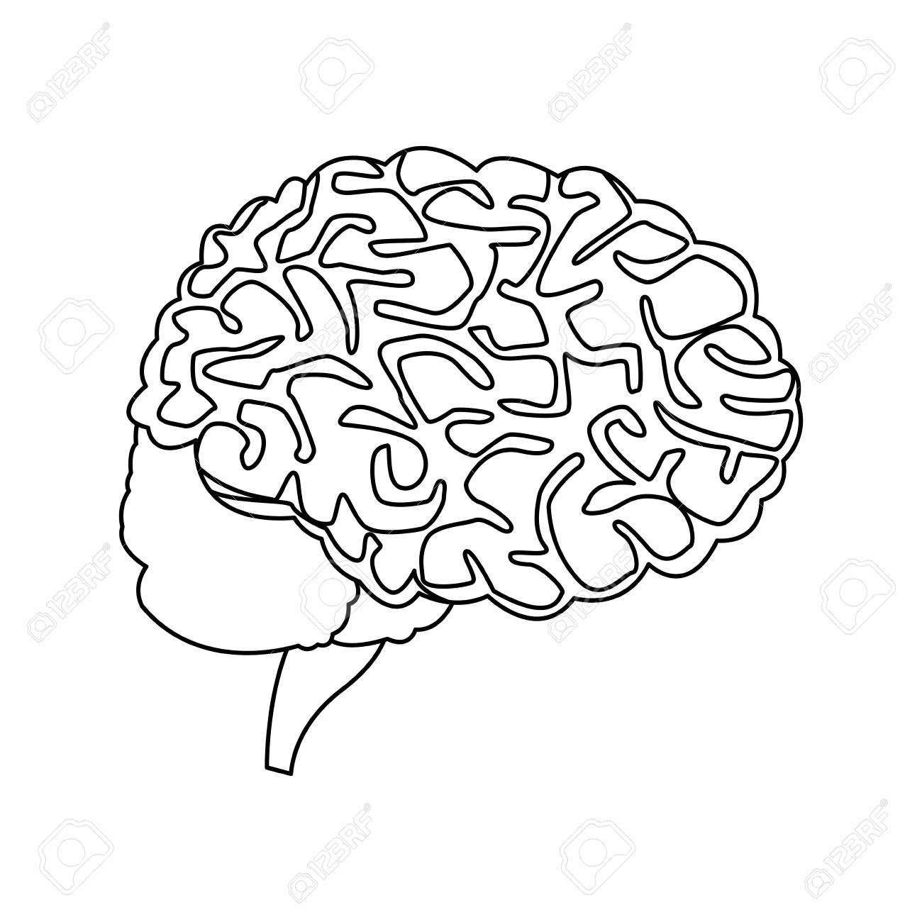 Human Brain For Medical Healthy Memory Anatomy Design Vector
