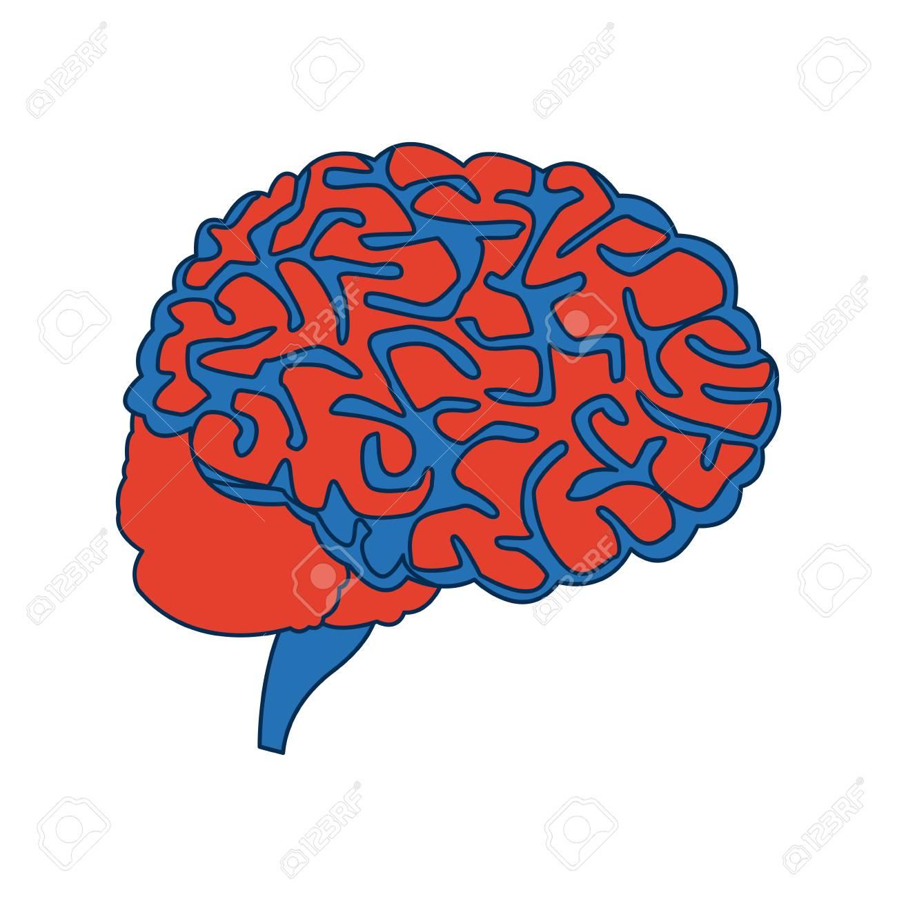 Human Brain For Medical Healthy Memory Anatomy Design Vector ...