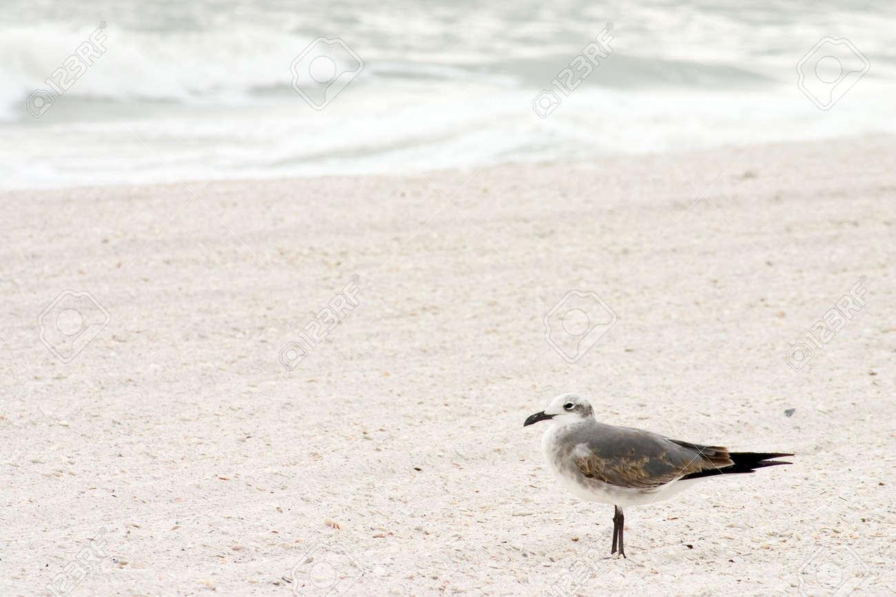 Sea Gull enjoying a Florida beach Stock Photo - 301347