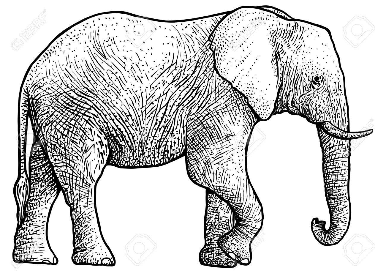 Elephant Illustration, Drawing, Engraving, Ink, Line Art, Vector ...