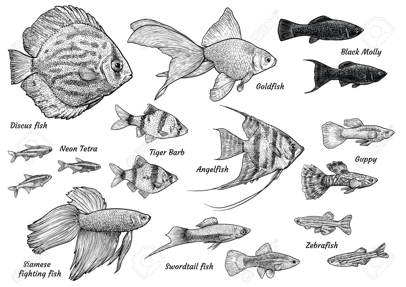 Collection Of Aquarium Fish Illustration Drawing Engraving