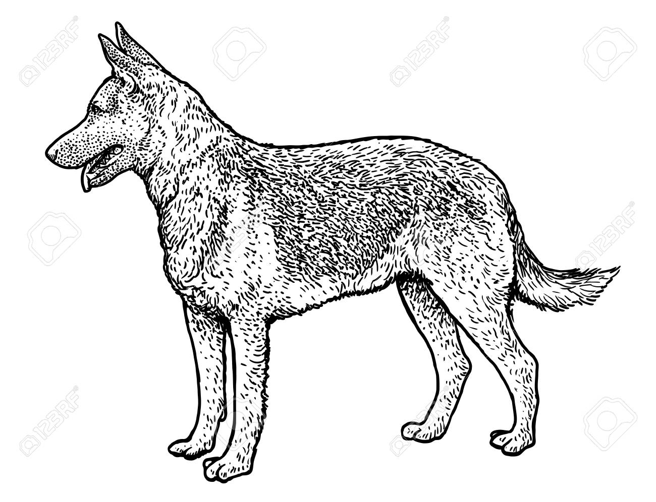 German Shepherd Illustration Drawing Engraving Ink Line Art Royalty Free Cliparts Vectors And Stock Illustration Image 95974350