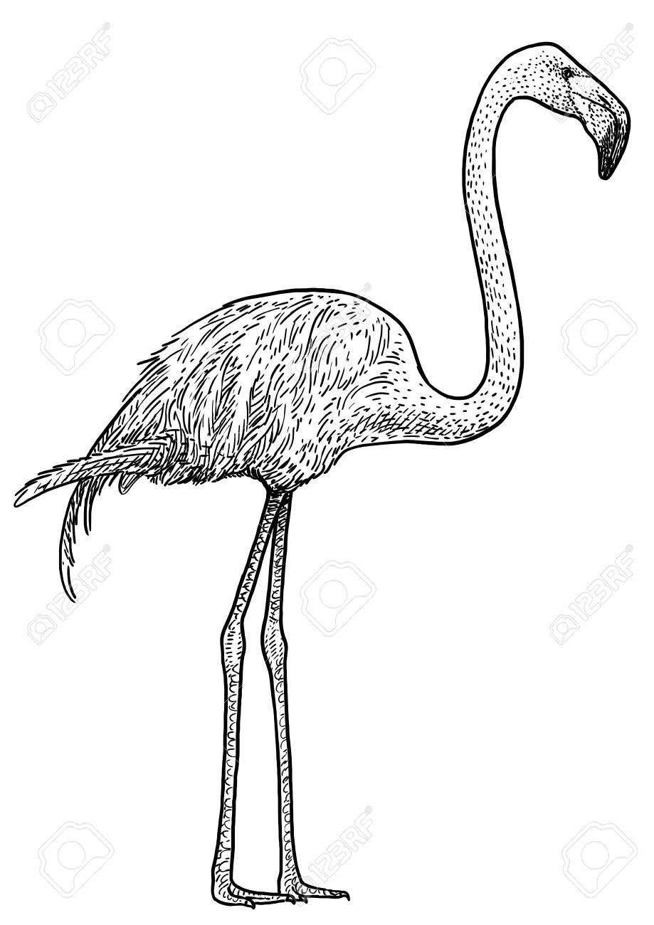 flamingo bird illustration drawing engraving ink line art vector royalty  free cliparts, vectors, and stock illustration. image 115419337.  123rf