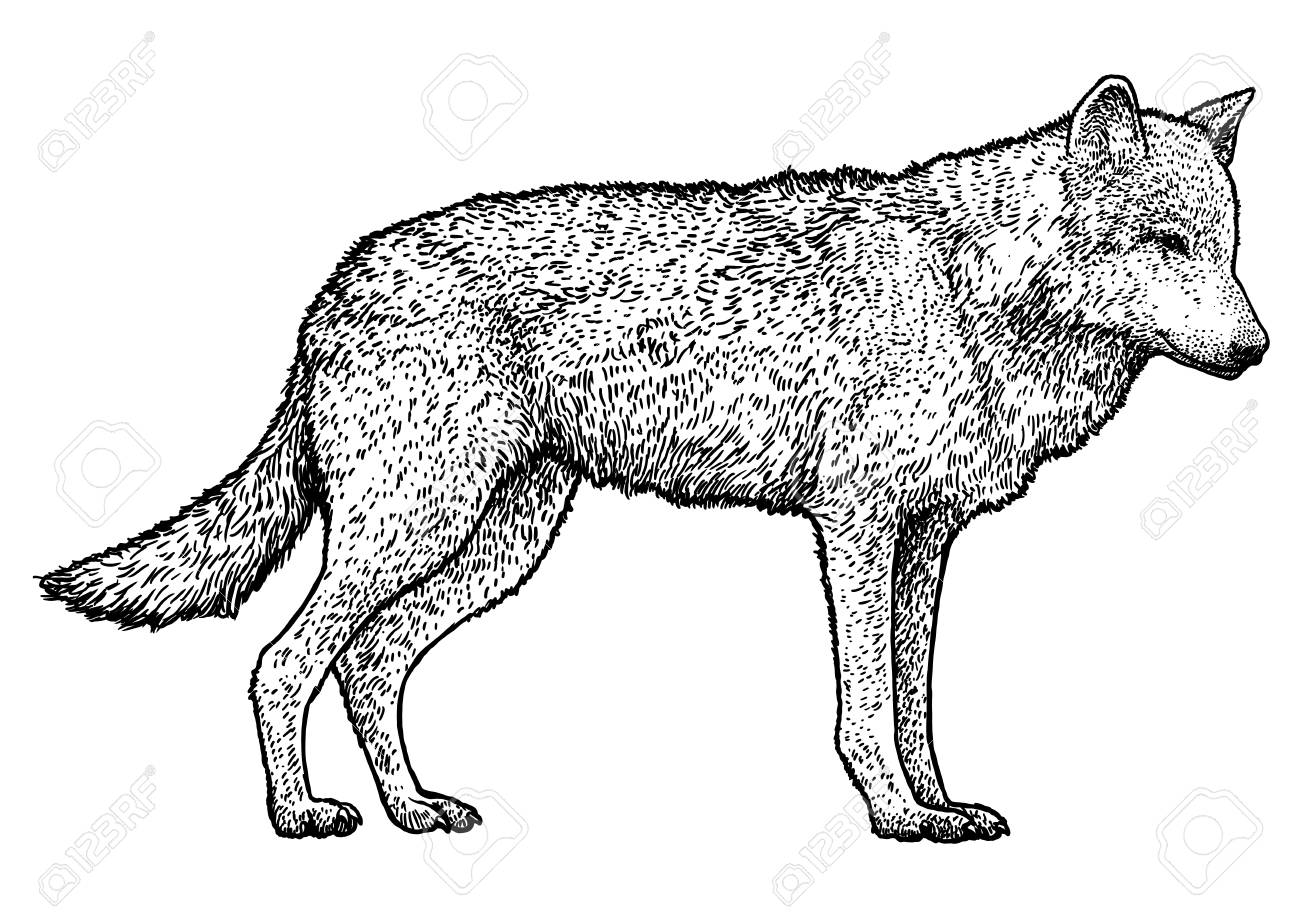 Wolf illustration drawing engraving ink line art vector - 121707990