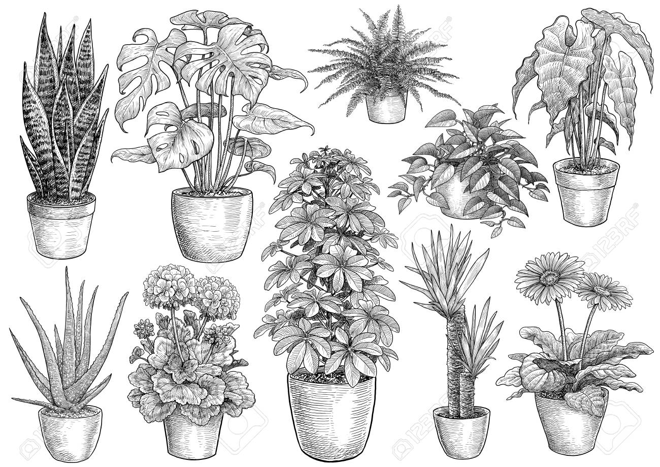 Houseplant Collection Illustration Drawing Engraving Ink Line Royalty Free Cliparts Vectors And Stock Illustration Image 121657489