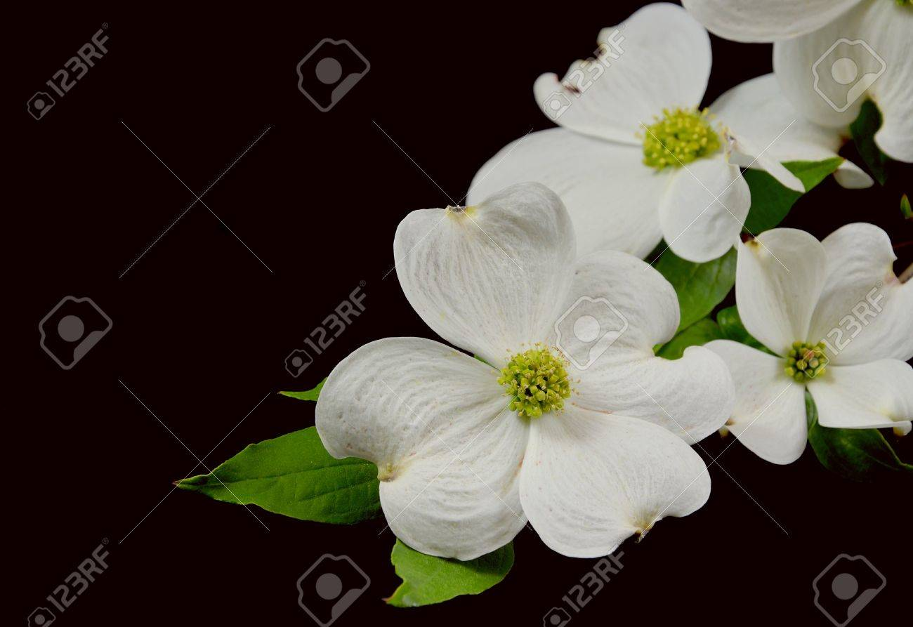 Dogwood Blossoms On A Branch On A Black Studio Background Stock