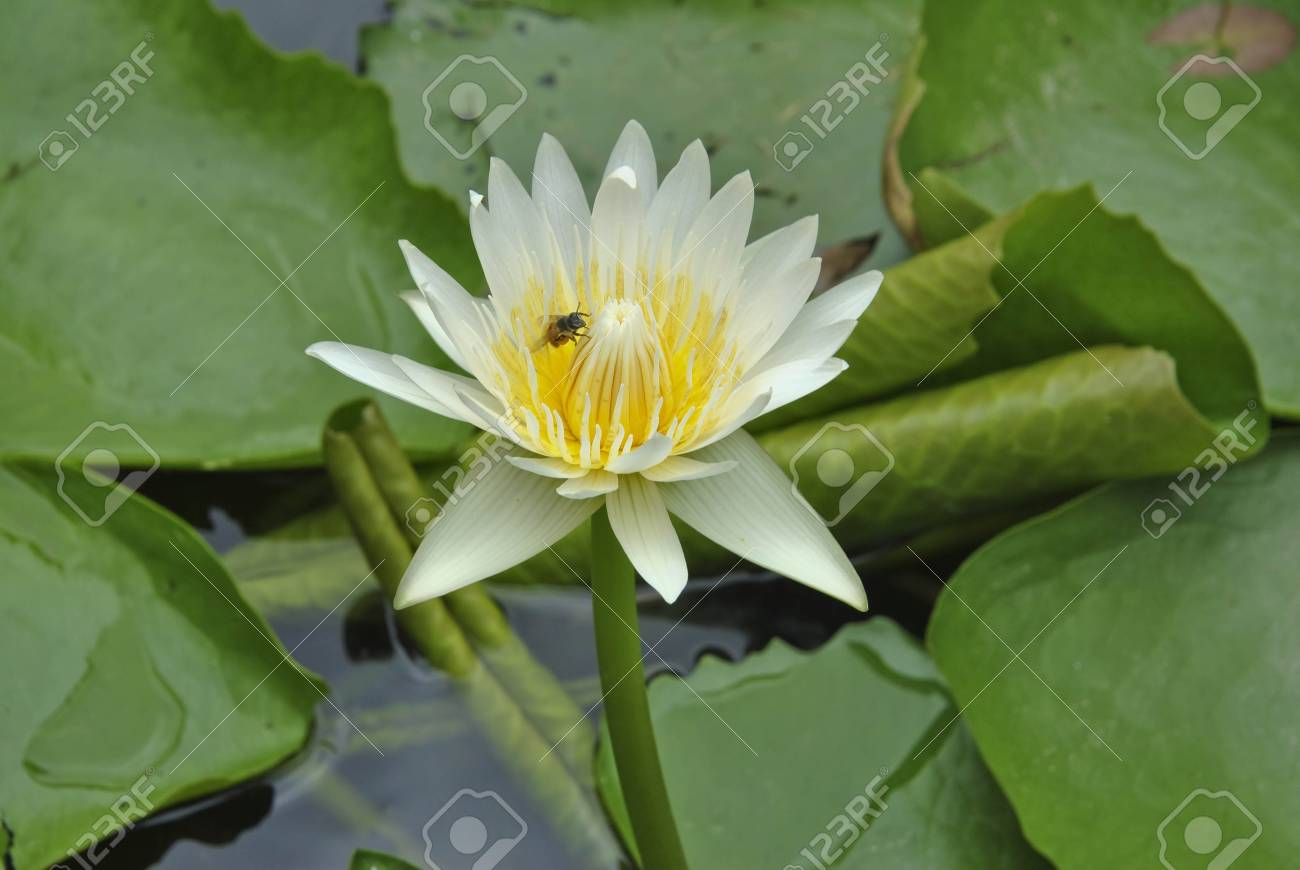 Lotus flower blossom stock photo picture and royalty free image lotus flower blossom stock photo 15158253 izmirmasajfo