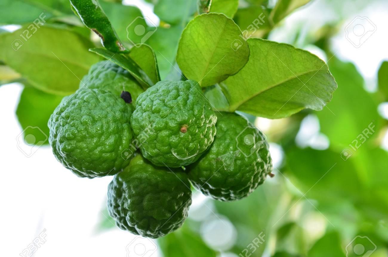 kaffir lime and bergamot fruit on tree stock photo - Kaffir Lime Tree