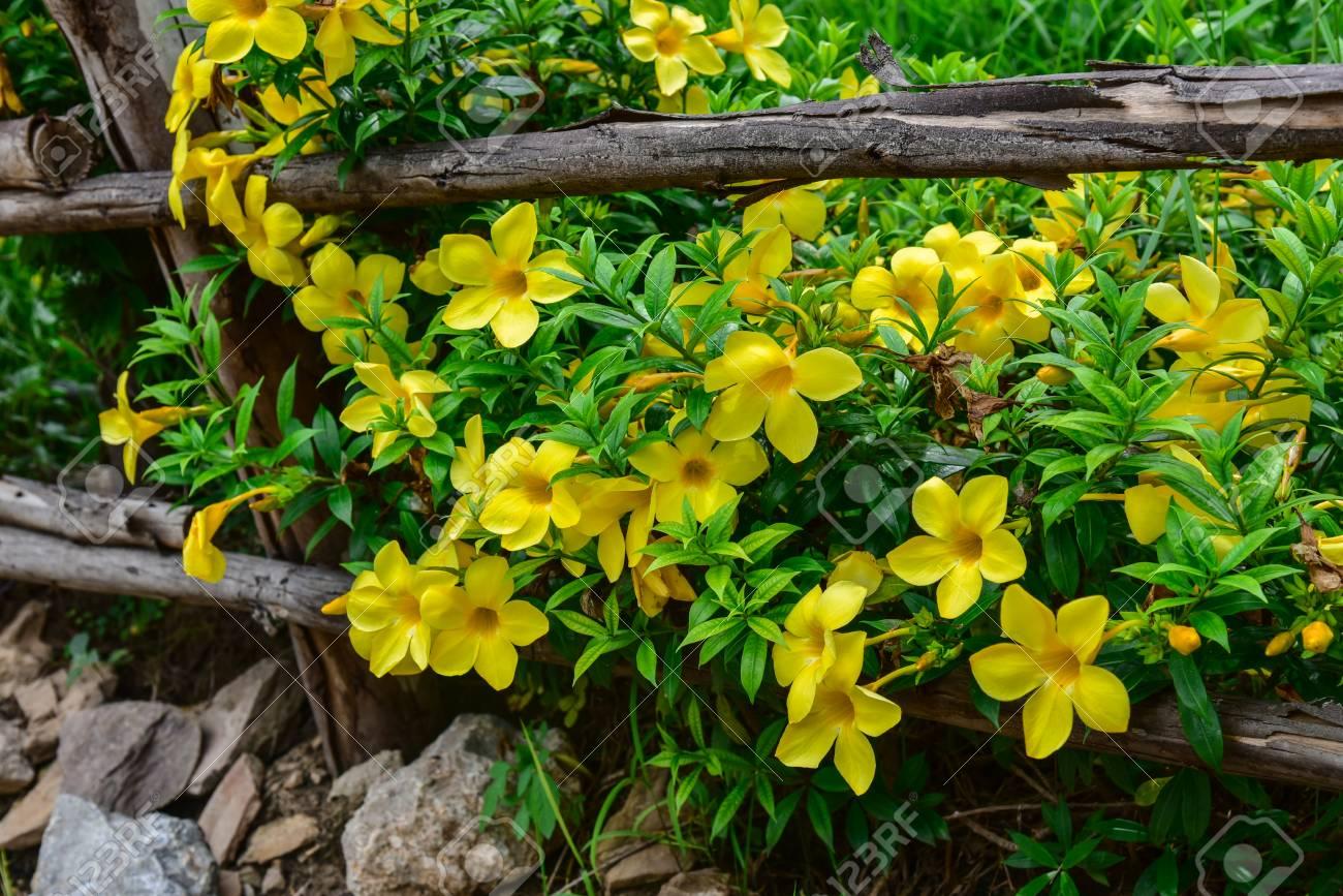 Gelbe Blumen Entlang Zaun Im Garten Wachsen Lizenzfreie Fotos