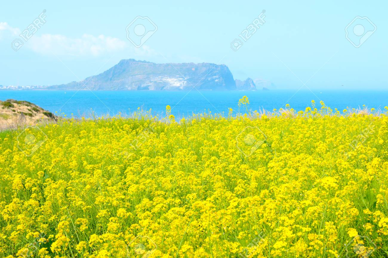"It is spring scenery of tourist spot ""Seopjikoji"" in Seogwipo of Jeju Island. - 116514619"