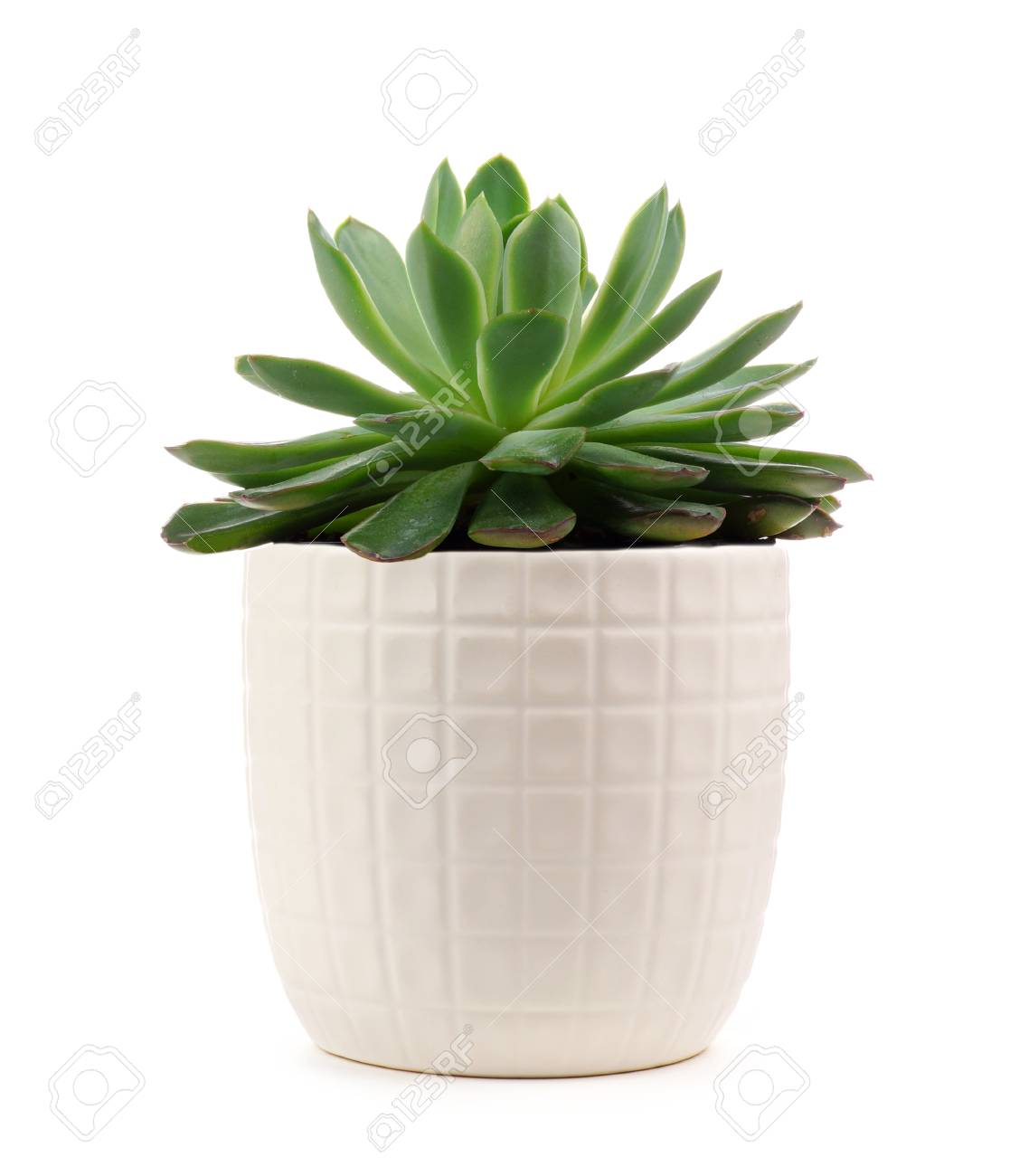 Small Indoor Succulent Plant In White Pot Isolated On A White Stock Photo Picture And Royalty Free Image Image 102026979