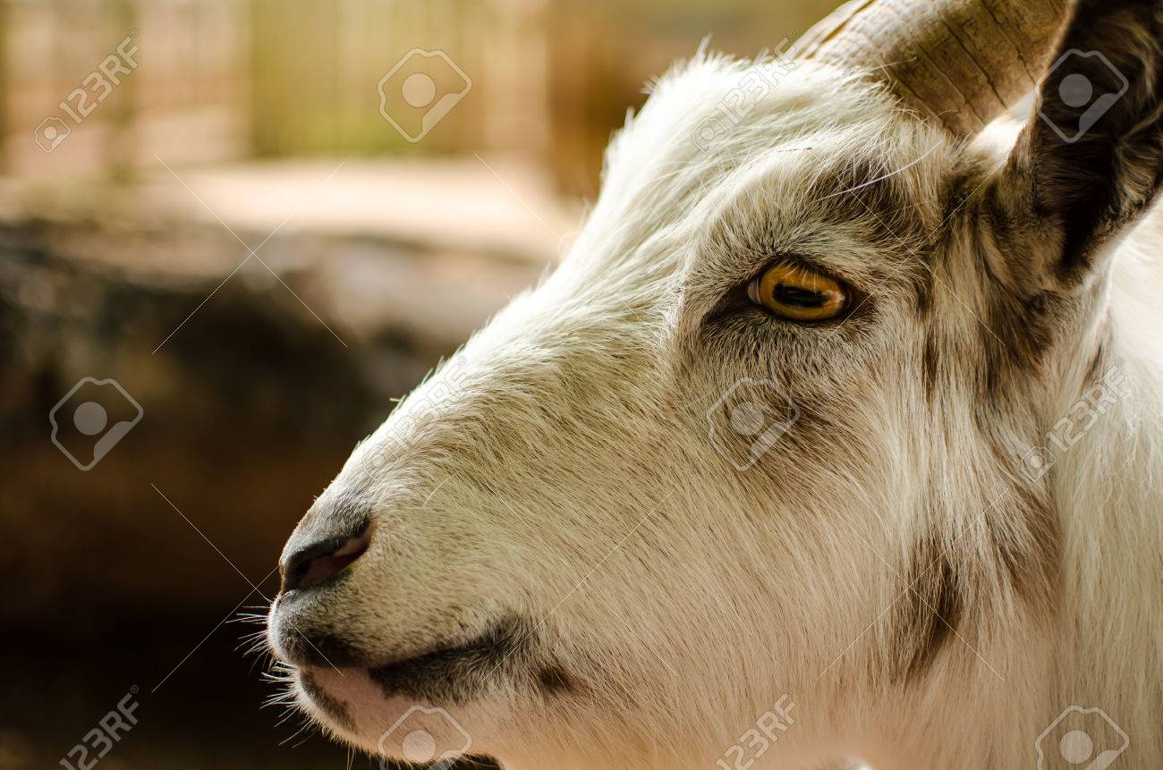 Close Up Profile Portrait Of A White Goat Showing The Nose Mouth Eye Ear And Horn
