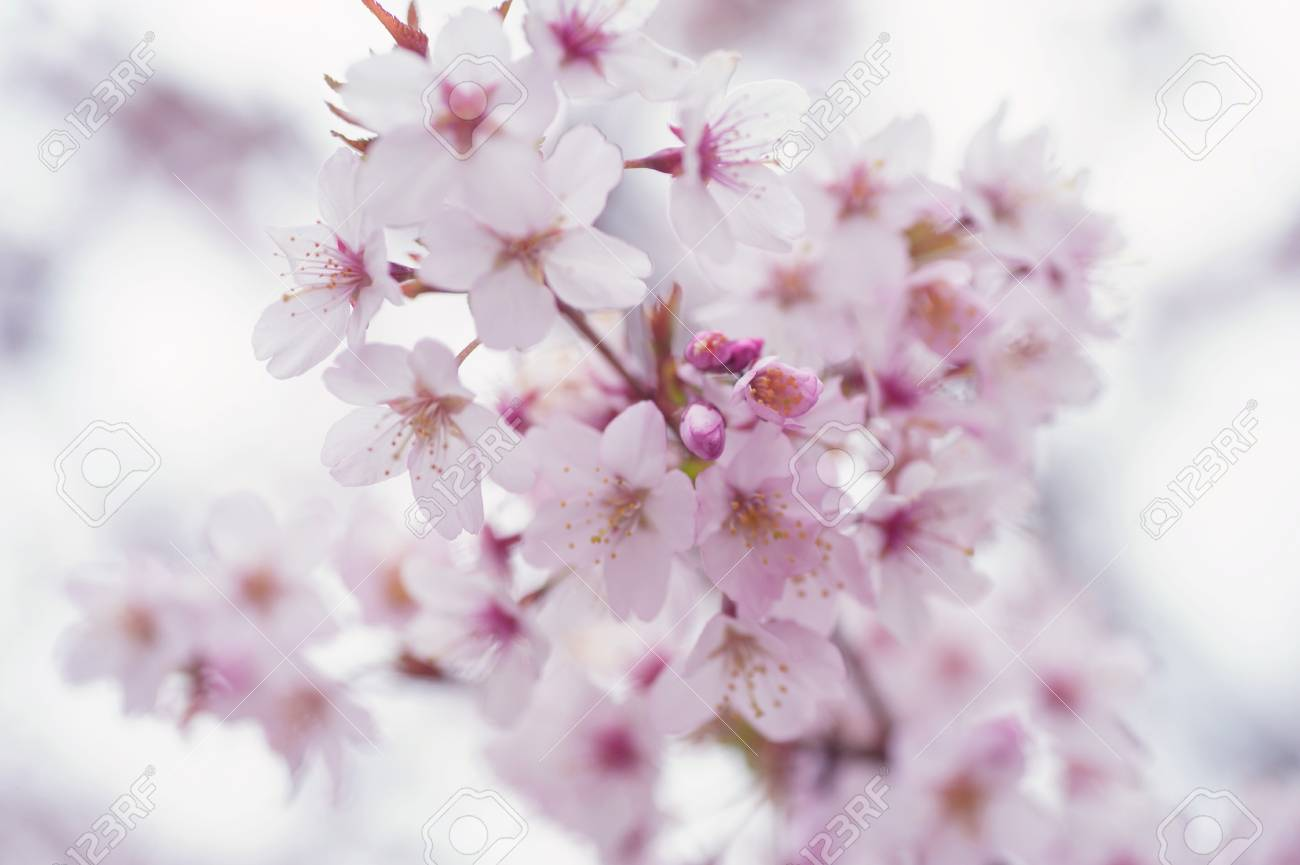 ea419395504 Light Sakura bloom close up with soft selective focus background Stock  Photo - 55424411