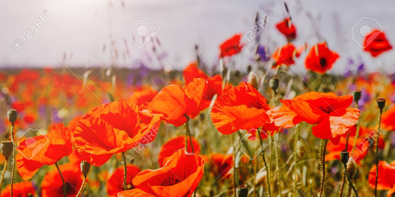 Colorful Flowers On The Field Glowing In Sunlight Nature
