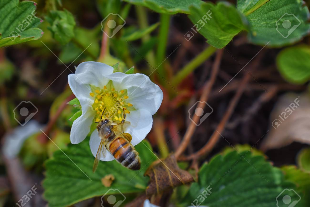The Honey Bee Pollinates The Flowers Of The Strawberry Which Stock