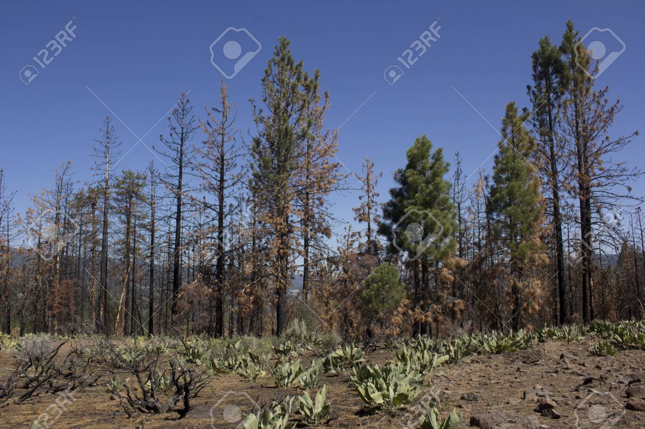 after math of a forest fire in the high sierras. Stock Photo - 14569981