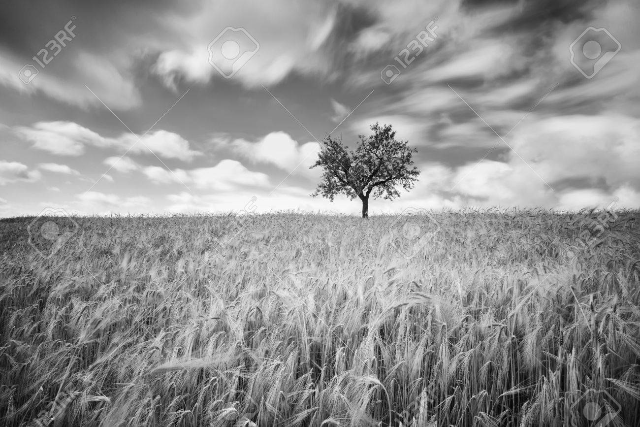 Green wheat on a grain field in spring black and white photography with long exposure