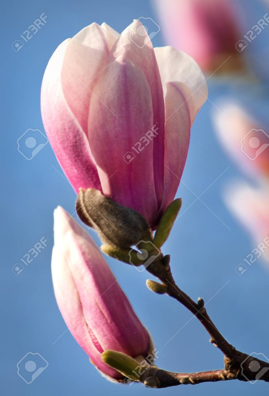Magnolia blossom budding in springtime Stock Photo - 15852576