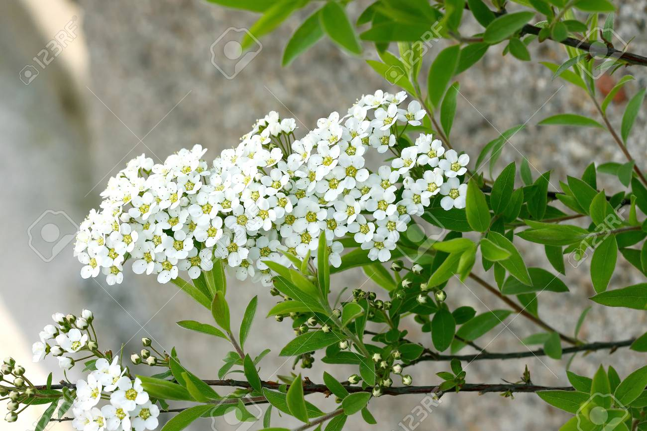 Tiny White Flowers And Green Leaves Stock Photo, Picture And Royalty Free  Image. Image 77876837.
