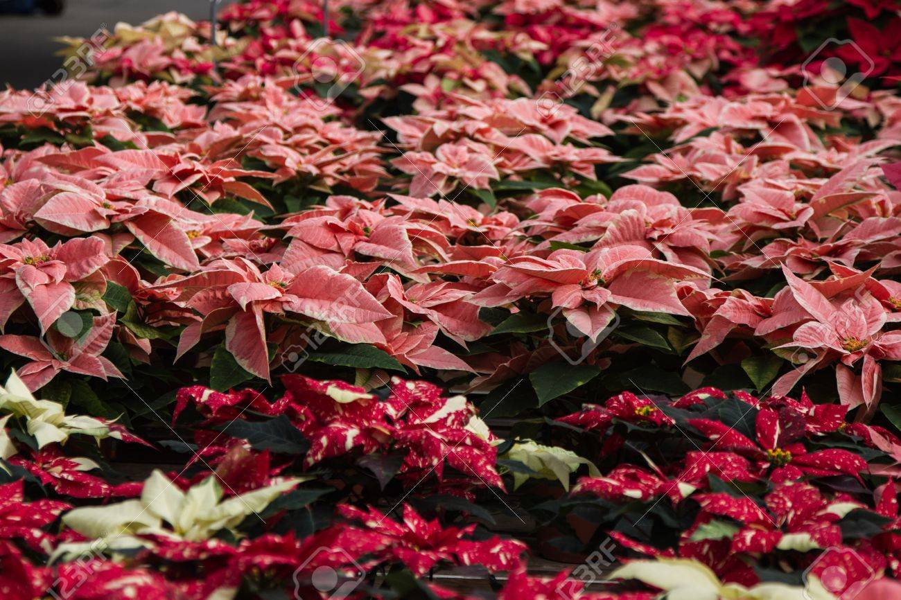 Hugh Lot Of Different Colored Poinsettias In A Wholesale Distributor