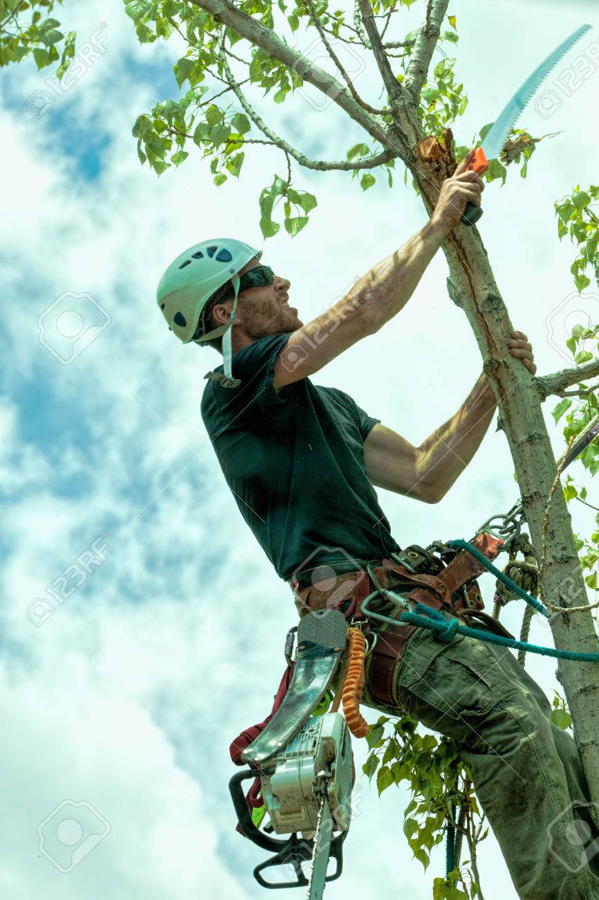 Arborist trimming cottonwood tree with hand saw