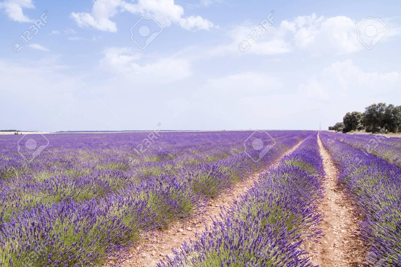 Purple landscape in blossoming lavender fields - 153801095