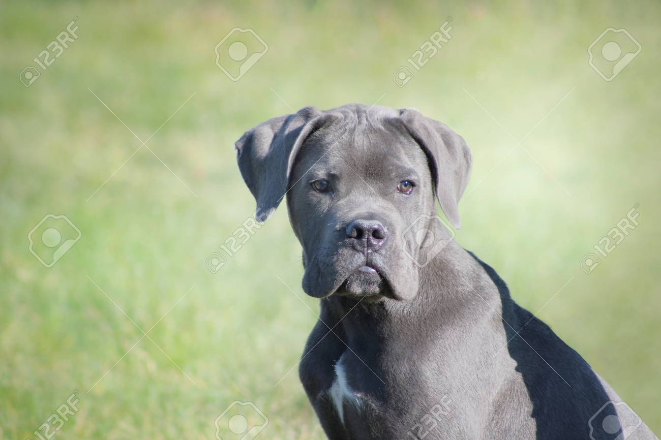 An Italian Mastiff Puppy Blue Cane Corso Looking Tender And