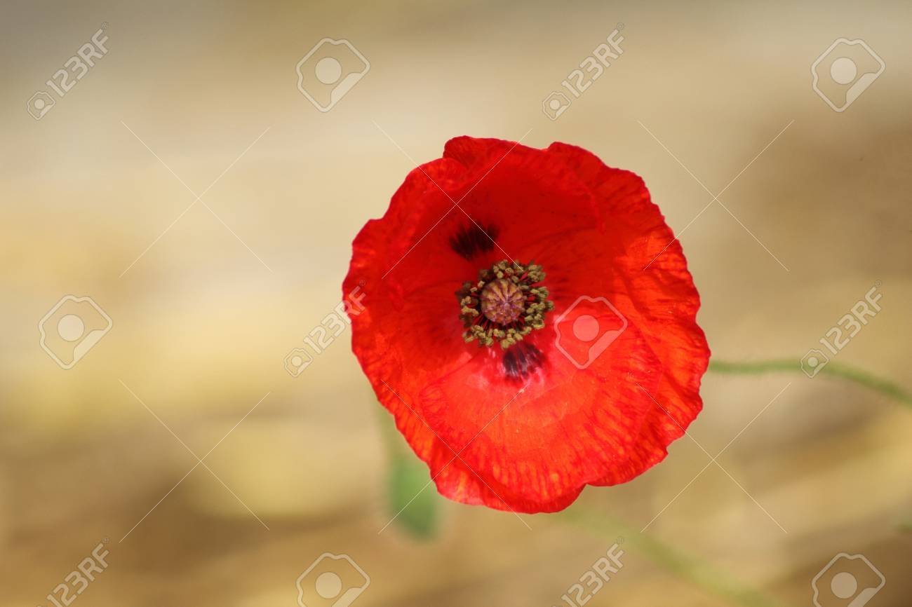 Close Up Of A Red Poppy Poppy Flower And Its Visible Pistil Stock
