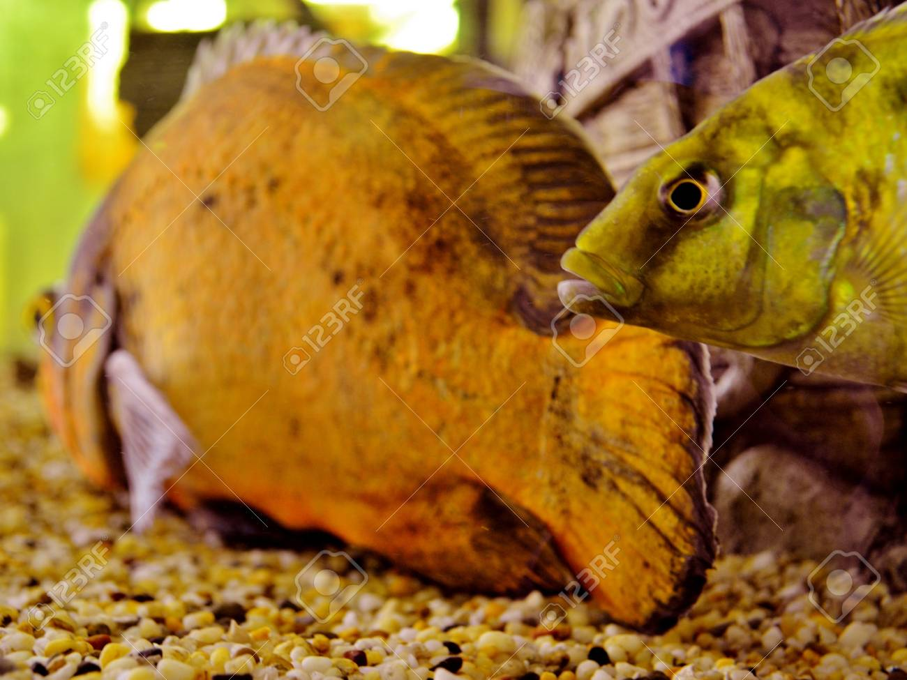 Oscar Fish in a tank in Innisfail in Queensland Australia