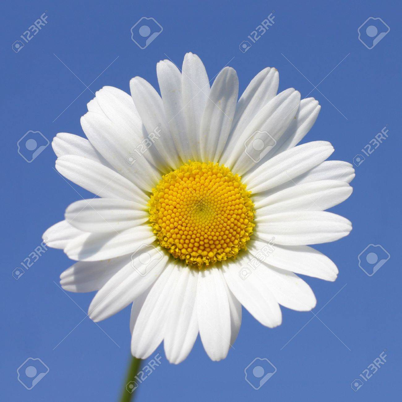 close up of daisy flower in sunny day stock photo, picture and, Beautiful flower