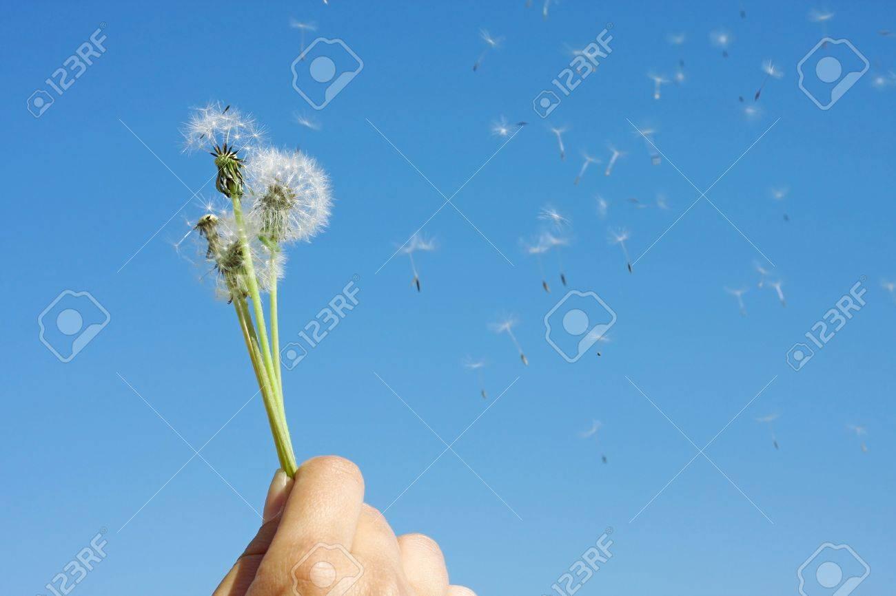 Female hand holding dandelion clock - 13273282