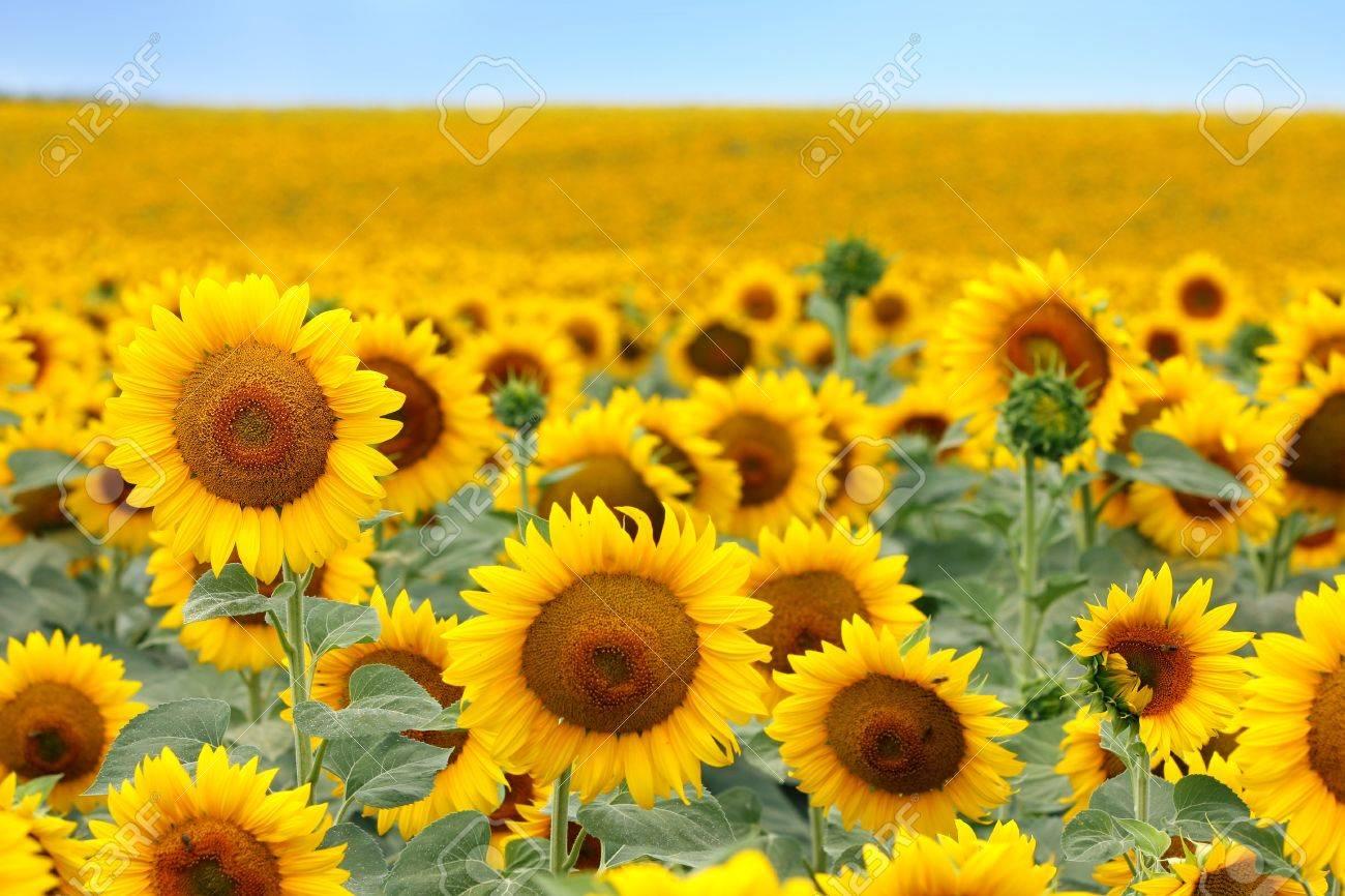 Beautiful sunflower field in summer - 14481835