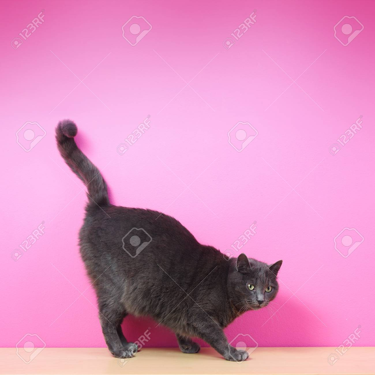 Domestic gray cat against pink background Stock Photo - 14657782