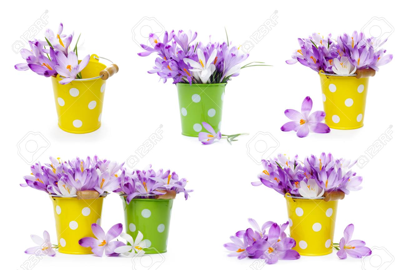 Crocus Flowers In Tin Buckets Isolated On White Stock Photo