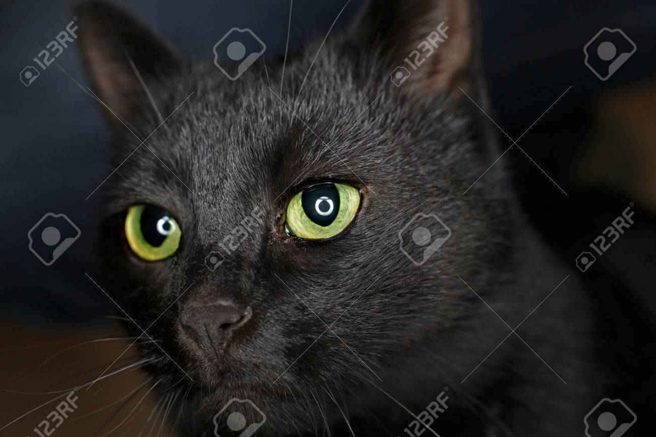 Black Cat With Ring Flash Reflection In Eyes Stock Photo Picture And Royalty Free Image Image 61448117