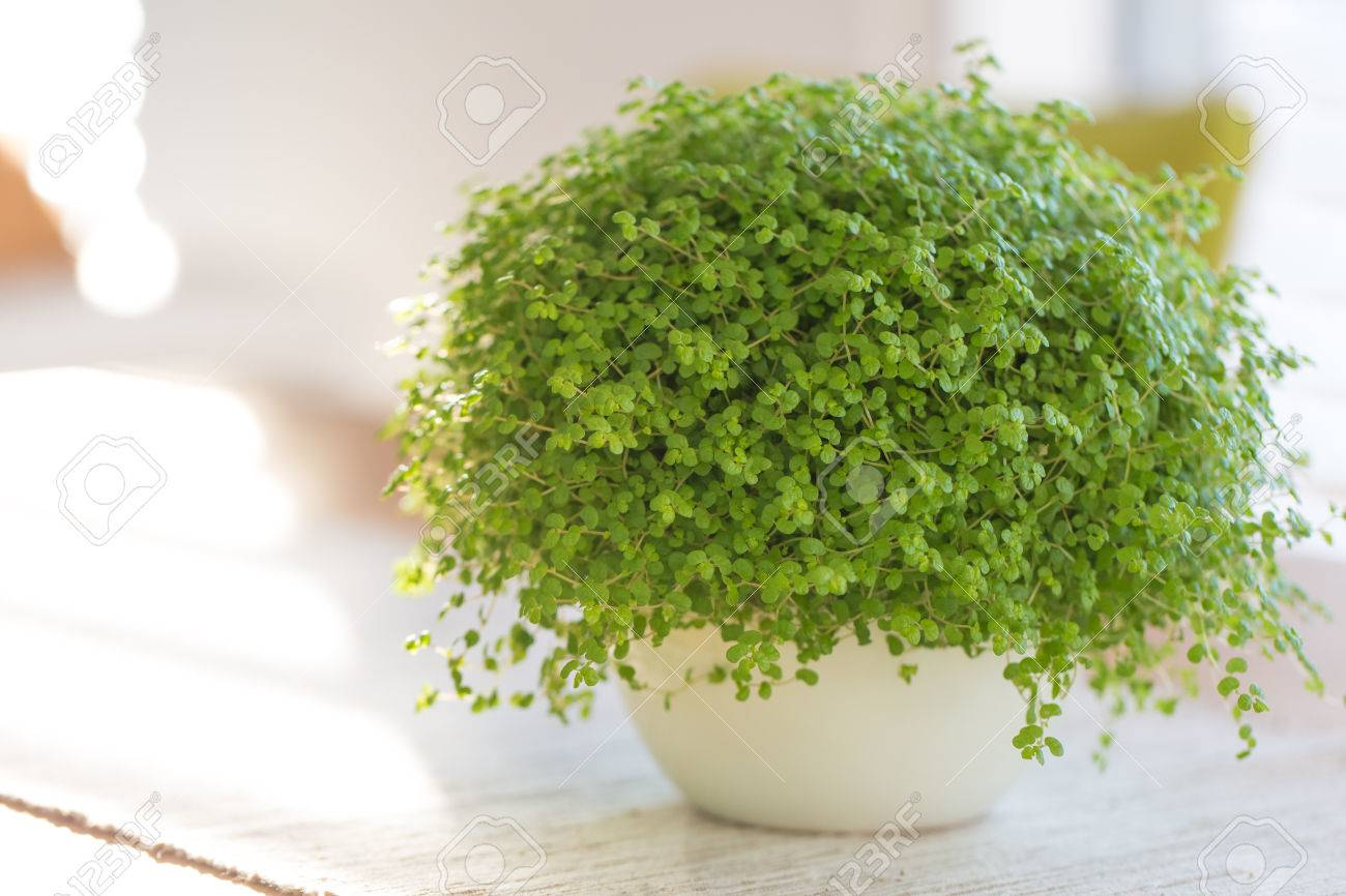 Soleirolia Soleirolii Green Plant With Many Different Common Stock Photo Picture And Royalty Free Image Image 67951175,What Color To Paint Exposed Basement Ceiling