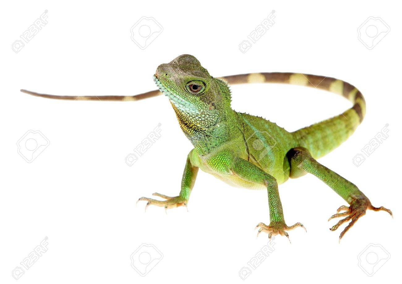 Chinese water dragon on white background picture Stock Photo - 13749425