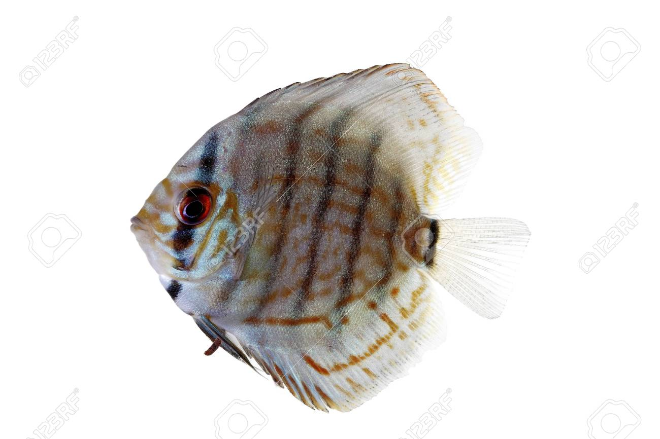 Blue Discus isolated on white and clear Stock Photo - 14717457